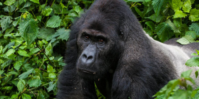 Gorillabericht JM