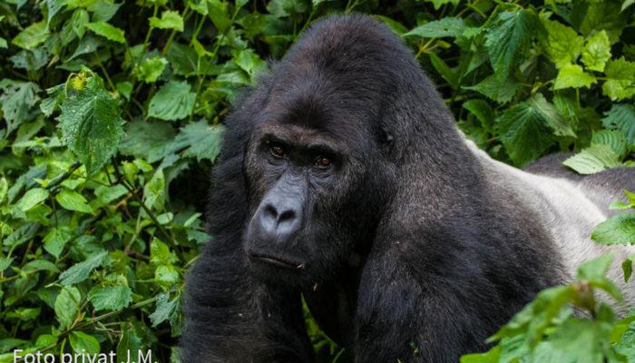 Tierärzte Im Ausland: Arterhaltung Bedrohter Berg- Und Grauer Gorillas In Afrika
